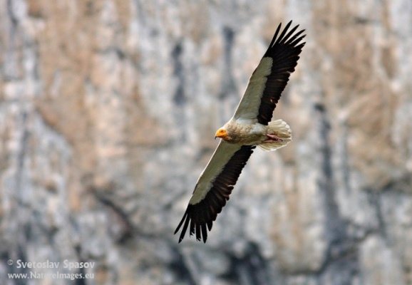 The Egyptian Vulture mid air
